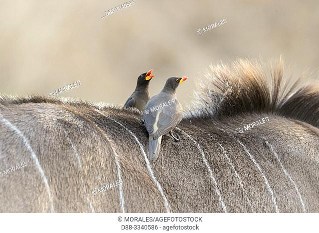 Africa, Southern Africa, Bostwana, Chobe i National Park, Chobe river, Greater kudu (Tragelaphus strepsiceros), young male with Red-billed oxpecker (Buphagus...
