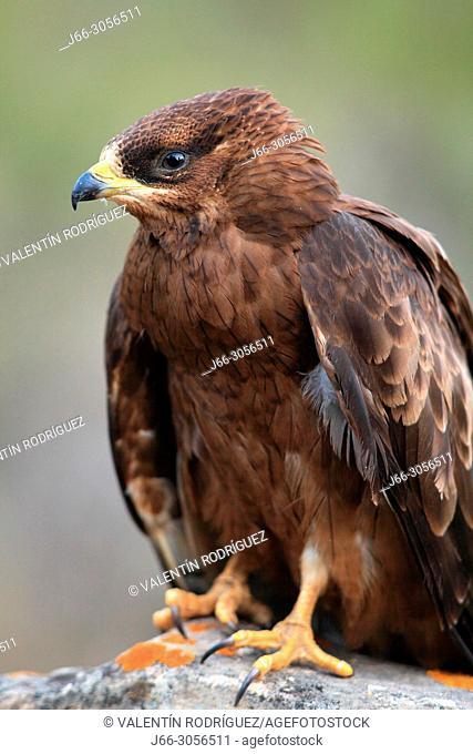 Honey buzzard (Pernis apivorus) in the Serrania Baja of the region of the Serrania de Cuenca