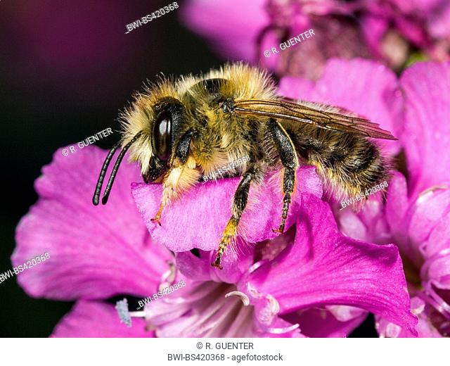 leaf-cutter bee (Megachile nigriventris), Male foraging on Clammy Campion (Silene viscaria), Germany
