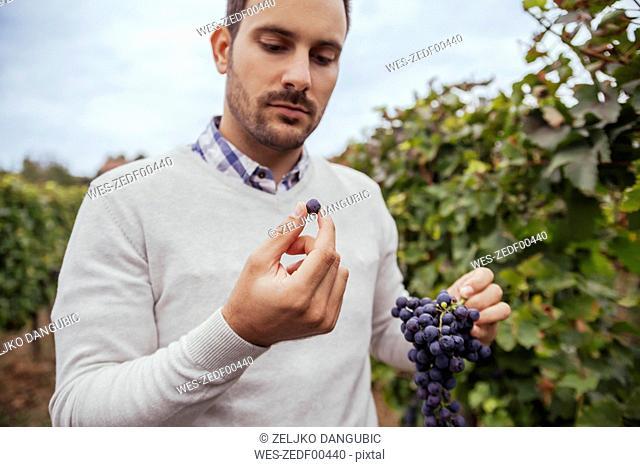 Man in a vineyard examiming grapes