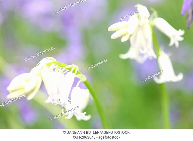 a beautiful close up of whitebells in a field of bluebells
