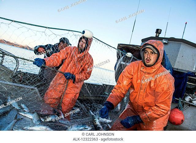 A commercial fishing crew hauls in a load of herring in the Bristol Bay region of Alaska, Southwest Alaska, USA