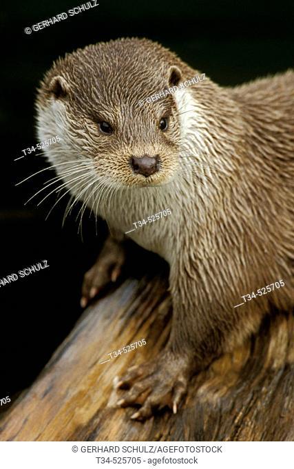 European Otter. Lutra lutra. Mecklenburg-Vorpommern, Germany