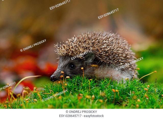 West European Hedgehog in green moss