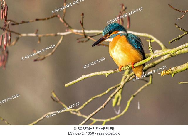 a kingfisher peeking out of the branches out to fish in the pond