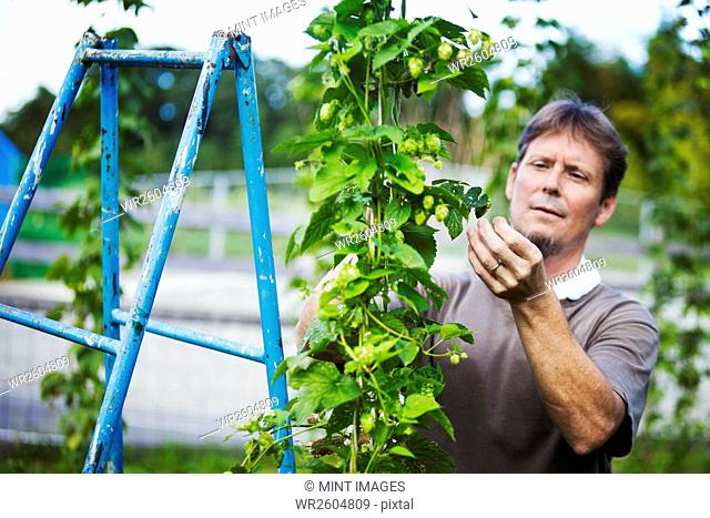 Man standing outdoors, picking hops from a tall flowering vine with green leaves and cone shaped flowers, for flavouring beer