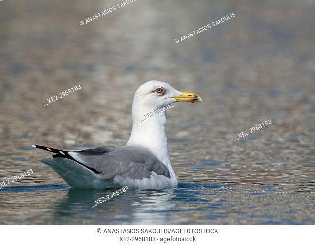 Yellow-legged Gull - Larus michahelis, Greece