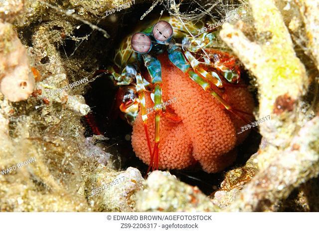 Peacock mantis shrimp (Odontodactylus scyllarus) with egg mass, Lembeh Strait, Indonesia