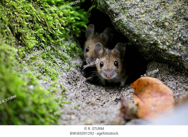 house mouse (Mus musculus), juvenile house mice leaving the nest for the first time, Germany, Bavaria
