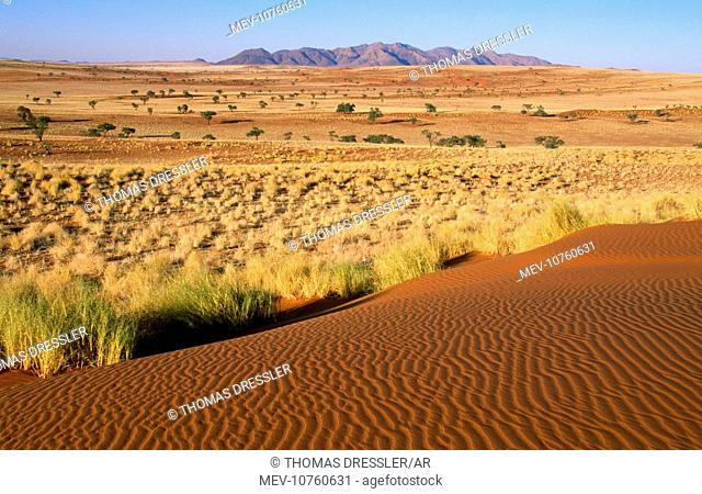 NAMIBIA - landscape with Bushman grass (Stipagrostis sp) and Camelthorn trees (Acacia erioloba)