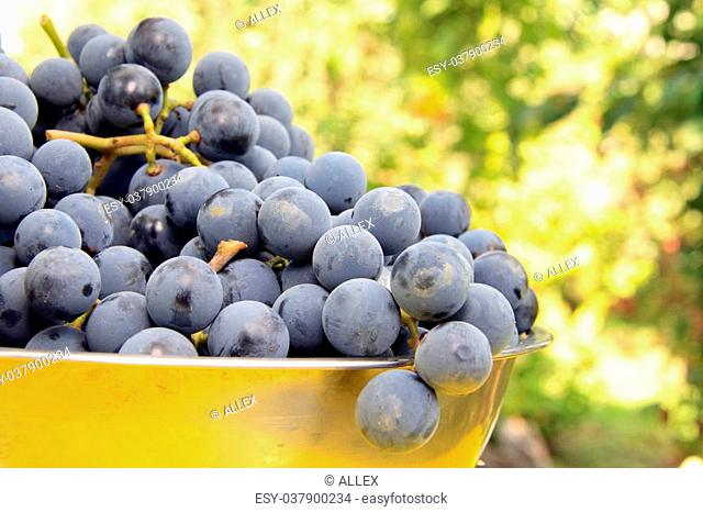 just gathered fresh violet grapes on bawl