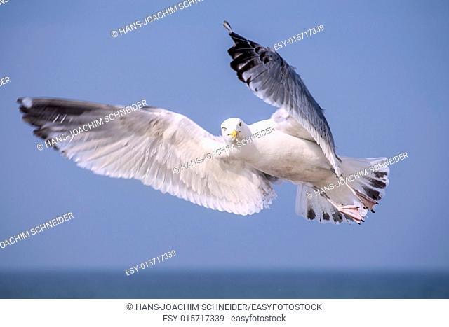 Herring gull, Larus fuscus L. flying