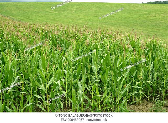 Corn green fields landscape outdoors background cornfields