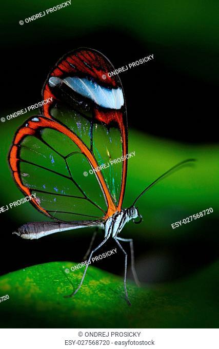 Beautiful butterfly, Nero Glasswing, Greta nero