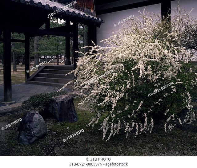 Manpuku Temple Spiraea thunbergii Uji Kyoto Japan Flower Plant Temple Temple