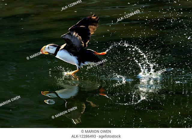 Horned puffin (Fratercula corniculata) taking off and creating reflections on green water, Chiniak Bay, Kodiak, Alaska, summer, Southwestern Alaska