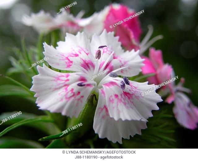 Sweet William DInathus barbatus flowers