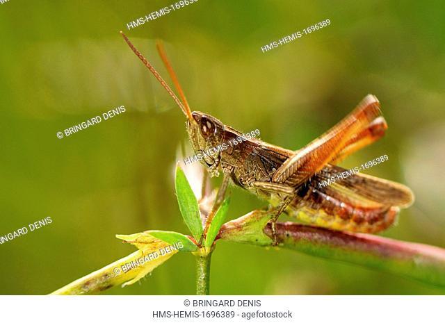 France, Territoire de Belfort, garden, grasshopper (Chorthippus sp.) male singing