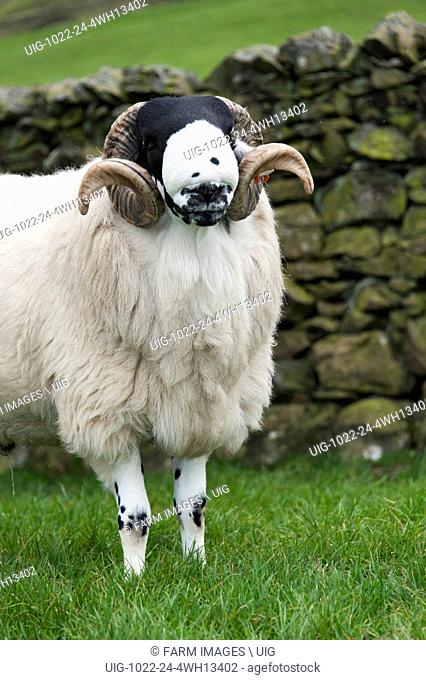 Rough Fell shearling rams