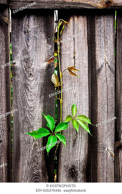 Nature wooden background. Foliage wild grapes on vintage wooden background with copy space. Green leaves of the wild grapes on natural wooden background