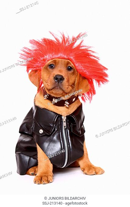 Labrador Retriever. Puppy (8 weeks old) in Rocker outfit and red wig, sitting. Studio picture against a white background. Germany