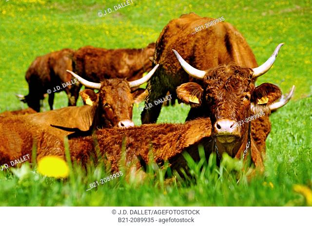 France. Auvergne. Cantal. Salers (cattle) in the Jordanne valley