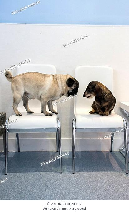 Two dogs on chairs of waiting room of a veterinary clinic