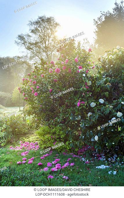 Camellia flowers at sunrise
