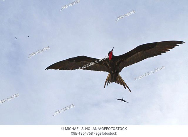 Adult male great frigatebird Fregata minor in flight over Genovesa Island in the Galapagos Island Archipelago, Ecuador