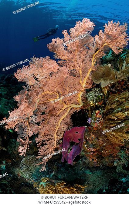 Sea Fan in Coral Reef, Melithaea sp., Alor, Indonesia