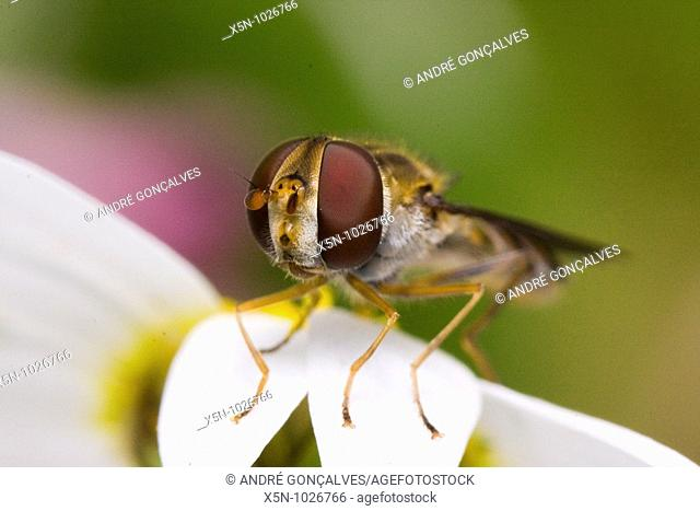 Hover Fly, Portugal