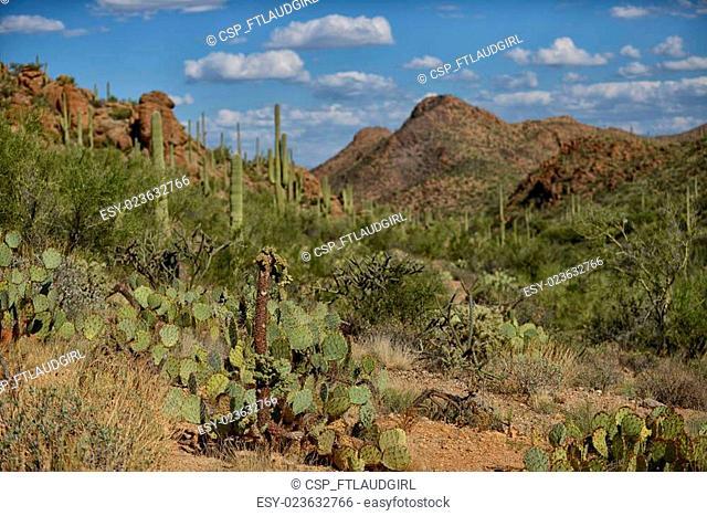 prickly pear and saguaro cacti
