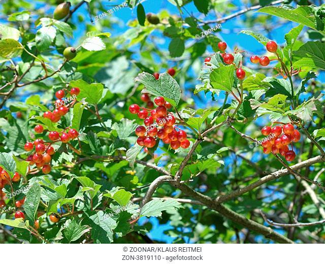 Gemeiner Schneeball / Viburnum opulus / guelder rose