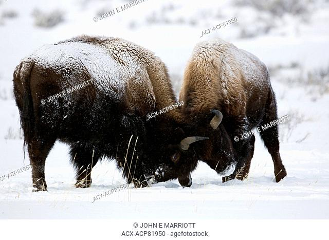 Bison fighting, Yellowstone National Park, USA