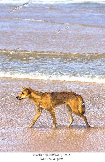 Dingo on seventy five mile beach, Fraser Island, Queensland, Australia