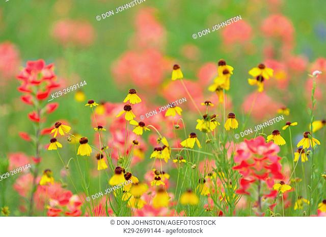 Texas Hill Country wildflowers- Texas paintbrush (Castilleja indivisa) and Brown Bitterweed (Helenium badium), Llano County, Texas, USA