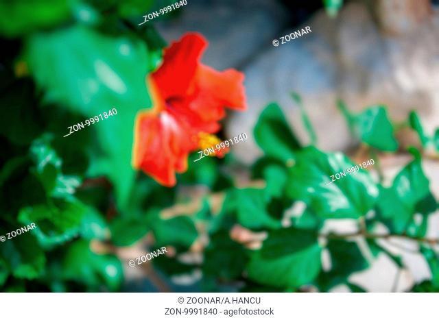 Defocused elegant hibiscus flower