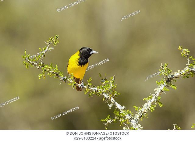 Audubon's oriole (Icterus graduacauda), Santa Clara Ranch, Starr County, Texas, USA