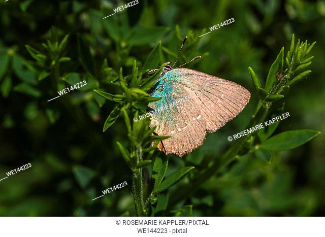 Germany, Saarland, Bexbach - A green hairstreak is sitting on a branch