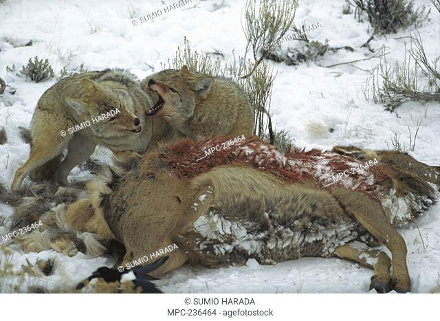 Coyote Canis latrans, pair scavenging on carcass, Yellowstone National Park, Wyoming