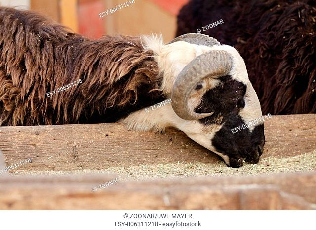 Sheep goat with eat in the trough