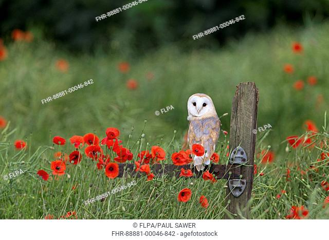 Barn Owl (Tyto alba) adult, perched on post among Corn Poppy (Papaver rhoeas) flowers, Suffolk, England, July, controlled subject