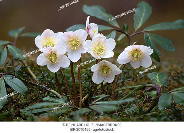 Christmas rose or Black hellebore (Helleborus niger), Thiersee, Tyrol, Austria, Europe
