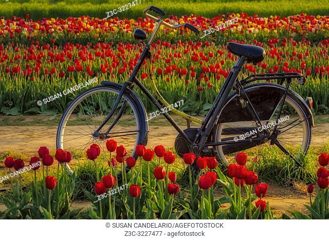 Springtime Tulips and Bike - Old Ranger bicycle surrounded by thousands of beautiful tulips in the farm during the golden hour.