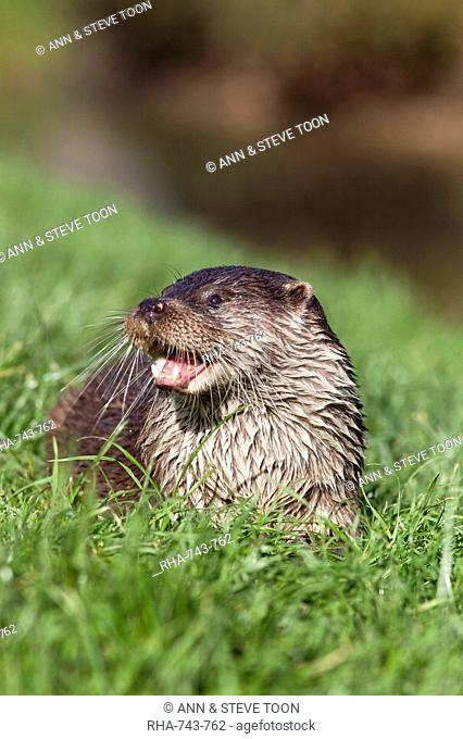 Otter Lutra lutra in captivity, United Kingdom, Europe