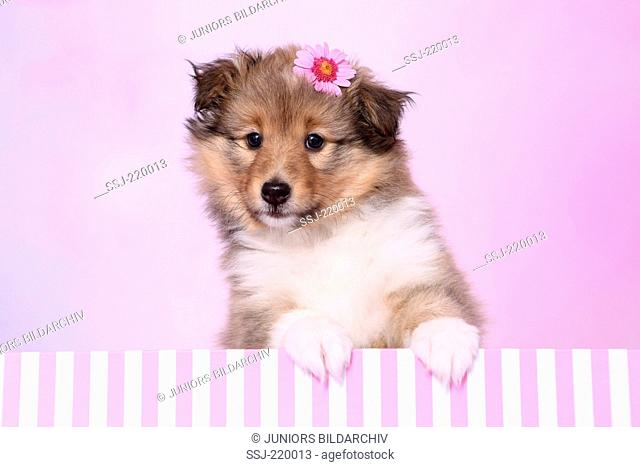 Shetland Sheepdog. Puppy (6 weeks old) looking out of a red-and-pink striped box, wearing a pink flower on its head. Studio picture against a pink background