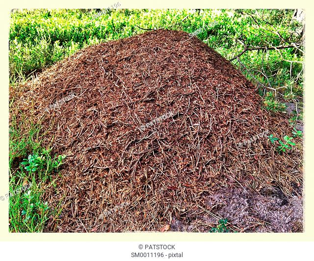 Anthill in a forest