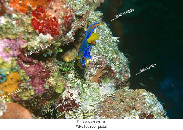 Queen angelfish Holacanthus ciliaris Juvenile with bright coral background, Cayman Islands, Caribbean