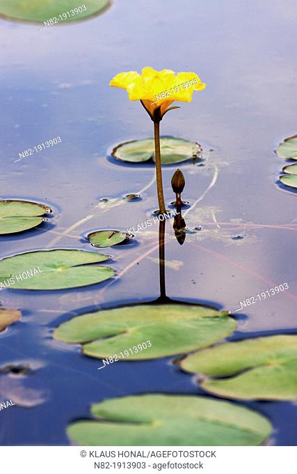 Fringed Water-lily or Yellow Floating-heart, Nymphoides peltata blooming - Bavaria/Germany