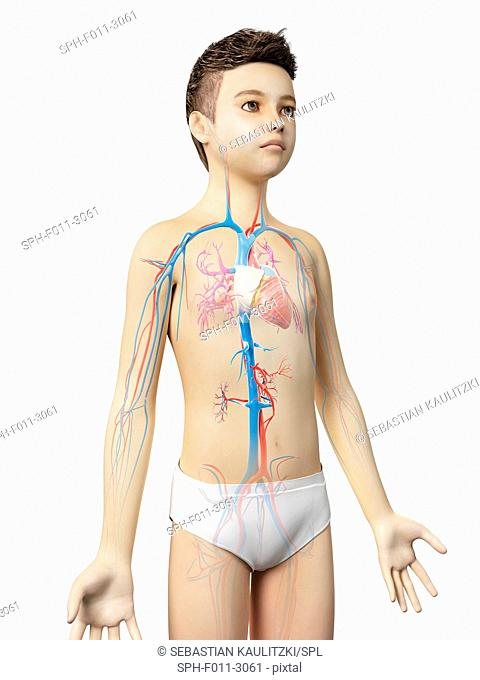 Cardiovascular system of a boy, computer illustration